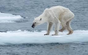vermagerde ijsbeer